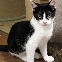 Domestic Shorthair Cat for adoption in North Myrtle Beach, South Carolina - Oreo