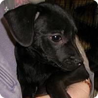 Adopt A Pet :: SAVANNAH - Coudersport, PA