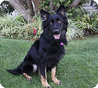 Border Collie/German Shepherd Dog Mix Dog for adoption in Newport Beach, California - THEO