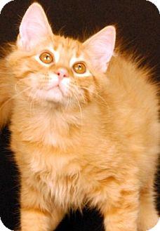 Domestic Shorthair Cat for adoption in Newland, North Carolina - Pesto