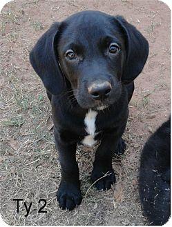 Labrador Retriever Mix Puppy for adoption in Ozark, Alabama - Ty