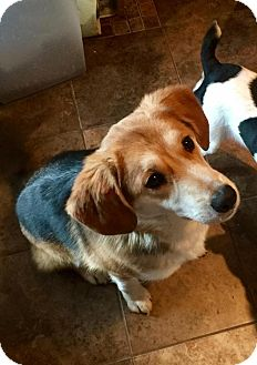 Beagle Mix Dog for adoption in Lincoln, Nebraska - Otis