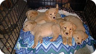 Golden Retriever/Labrador Retriever Mix Puppy for adoption in Providence, Rhode Island - Luke Skywalker