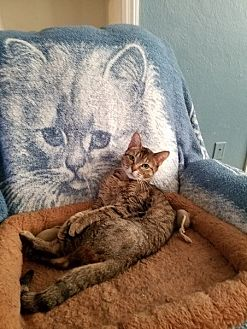 Domestic Shorthair Cat for adoption in Toledo, Ohio - Morgan