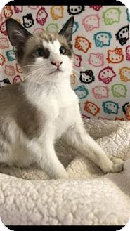 Snowshoe Kitten for adoption in Fountain Hills, Arizona - LEGO