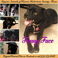 Labrador Retriever Mix Dog for adoption in Hearne, Texas - Funny Face