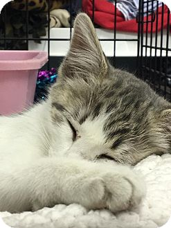 Domestic Shorthair Kitten for adoption in Houston, Texas - FEEMIE