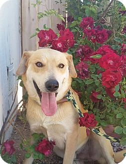 Labrador Retriever Mix Dog for adoption in Reno, Nevada - Austin
