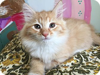 Domestic Longhair Kitten for adoption in Tioga, Pennsylvania - Clementine