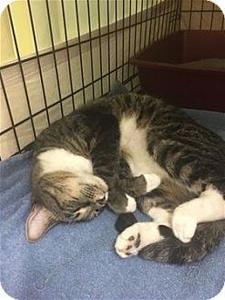 Domestic Mediumhair Cat for adoption in Raleigh, North Carolina - Rita