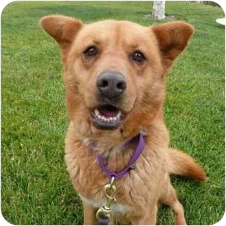 Chow Chow Mix Dog for adoption in San Clemente, California - SARAH