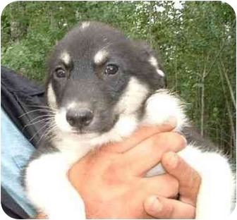 Border Collie Mix Puppy for adoption in Makinen, Minnesota - Ethan