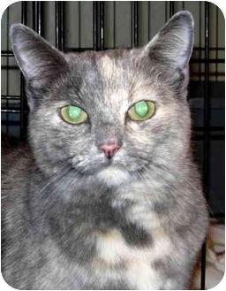 Calico Cat for adoption in New Carlisle, Ohio - Duchess