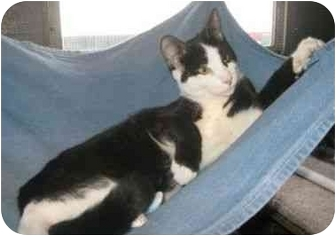 Domestic Shorthair Cat for adoption in Powell, Ohio - Domino