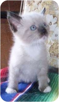 Siamese Kitten for adoption in Goodland, Kansas - Saimese