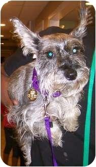 Miniature Schnauzer Dog for adoption in Oak Ridge, New Jersey - Olympia-TINY