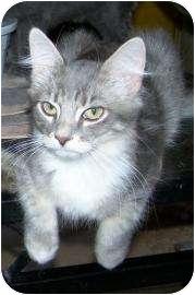 Domestic Shorthair Kitten for adoption in Las Vegas, Nevada - Grendel