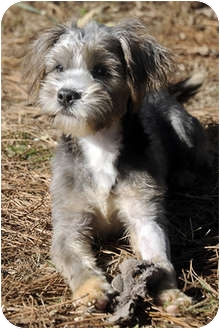 Shih Tzu/Terrier (Unknown Type, Small) Mix Puppy for adoption in Murphysboro, Illinois - Skwiggles