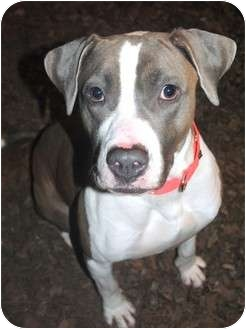 Pit Bull Terrier Mix Dog for adoption in Medford, New Jersey - Fuzz
