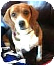 Beagle Dog for adoption in Colorado Springs, Colorado - RAZZY