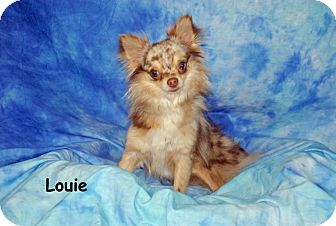 Chihuahua Dog for adoption in Ft. Myers, Florida - Louie