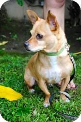 Chihuahua Mix Dog for adoption in Encino, California - Ramon