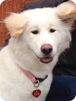 Akita Puppy for adoption in Los Angeles, California - Chiba *VIDEO*