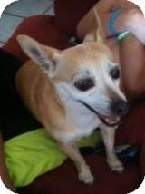 Chihuahua Mix Dog for adoption in Mesa, Arizona - Donnatella