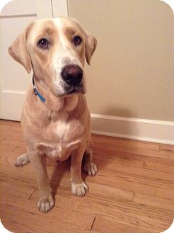 Labrador Retriever Mix Dog for adoption in Nashville, Tennessee - Levi