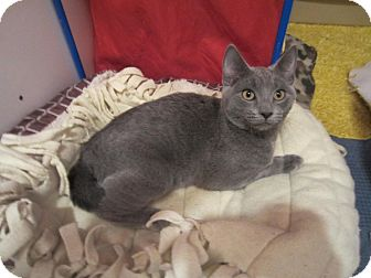 Domestic Shorthair Kitten for adoption in Des Moines, Iowa - Gray