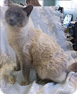 Siamese Cat for adoption in Morristown, Tennessee - Gabby