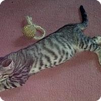 Adopt A Pet :: Tigereye - Dallas, TX