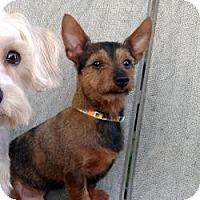 Adopt A Pet :: Charlie - Austin, TX