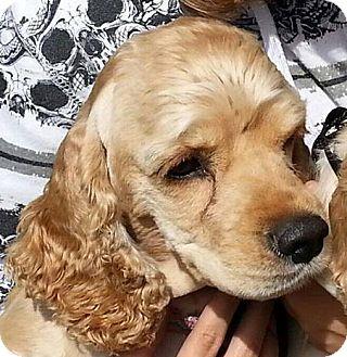 Cocker Spaniel Dog for adoption in Santa Barbara, California - Eve