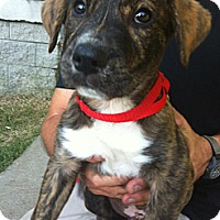 Adopt A Pet :: Albert - Albany, NY