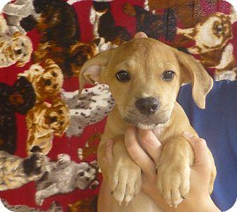 Boxer/Labrador Retriever Mix Puppy for adoption in Oviedo, Florida - Honey