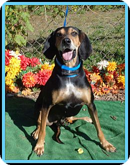 Coonhound Mix Dog for adoption in Marietta, Georgia - KELSO (R)