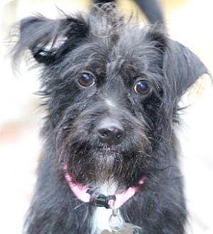 Dachshund/Chihuahua Mix Dog for adoption in Woonsocket, Rhode Island - Tulipa-MEET HER