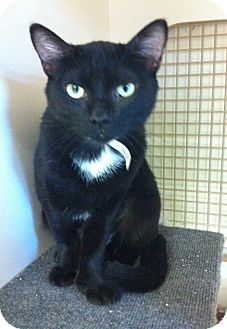 Domestic Shorthair Cat for adoption in Riverside, California - Raven