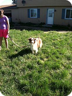 Australian Shepherd Dog for adoption in Kiowa, Colorado - Misty