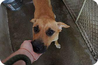 Labrador Retriever Mix Dog for adoption in Henderson, North Carolina - Darcy & 10 pups
