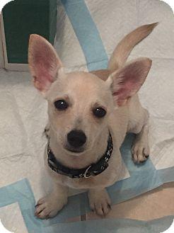 Chihuahua Mix Puppy for adoption in Jacksonville, Florida - Skippy Jon Jones