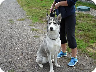Husky Mix Dog for adoption in Port Coquitlam, British Columbia - Nelson