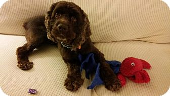 Cocker Spaniel Dog for adoption in Mentor, Ohio - STORM**3 YR OLD BALL OF ENERGY!!