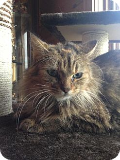Maine Coon Cat for adoption in Absecon, New Jersey - Kallie