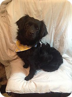 Spaniel (Unknown Type)/Terrier (Unknown Type, Small) Mix Dog for adoption in San Diego, California - Capi
