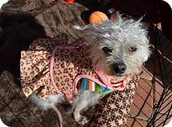 Poodle (Miniature)/Maltese Mix Dog for adoption in Houston, Texas - Gabby Barkley