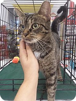 Domestic Shorthair Cat for adoption in Northfield, Ohio - China