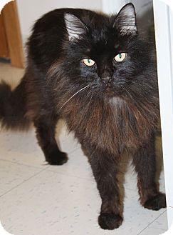 Domestic Longhair Cat for adoption in Washburn, Wisconsin - Raz
