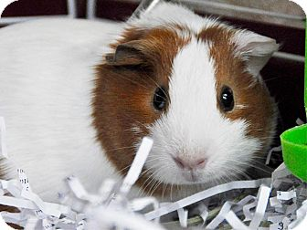 Guinea Pig for adoption in Long Beach, California - Jelly